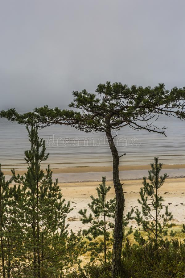 The Baltic pine tree. The Gulf of Riga. Autumn. There is a cold foggy day. No sun, no warm, no wind and waves. The ground cowers a thin frost royalty free stock images