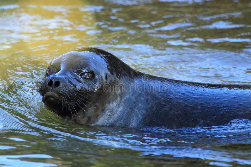 Baltic ringed seal. The detail of baltic ringed seal in water royalty free stock photography