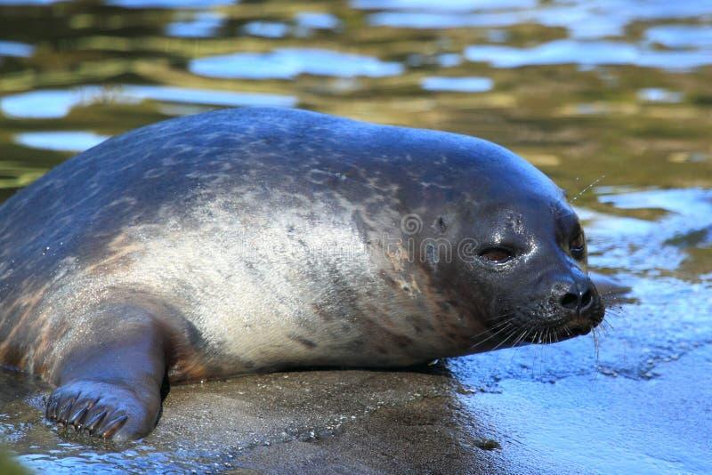 Baltic Ringed Seal Stock Photos