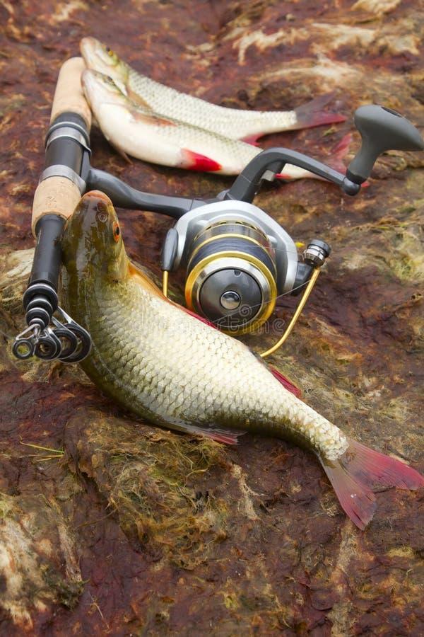 Download Baltic rudd stock photo. Image of reel, fishing, freshness - 26098668