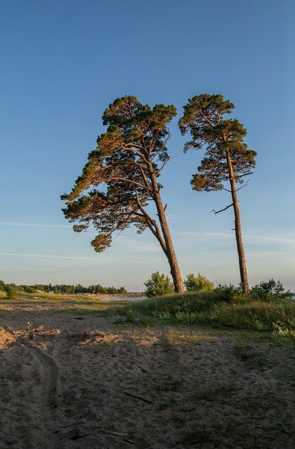 Liepaja beach with pines Latvia. Baltic sea coast near Liepaja, Latvia. Sand dunes with pine trees. Classical Baltic beach landscape. Wild nature Karosta royalty free stock image