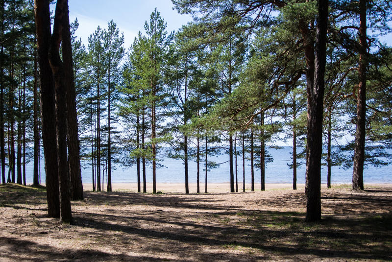 Baltic sea coast, pine trees and a sand shore on summer sunny day. Near St. Petersburg, Russia stock photos