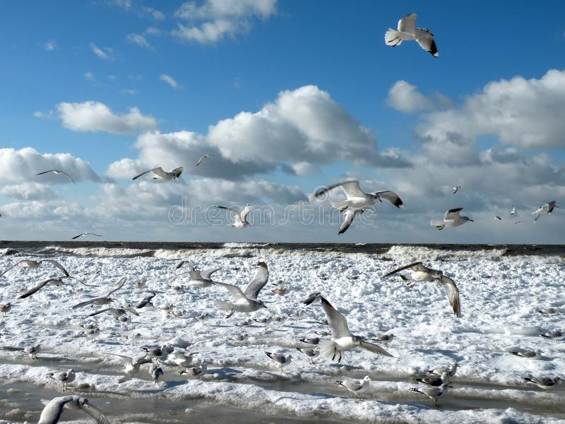 Baltic sea and seagulls in winter, Lithuania stock photo