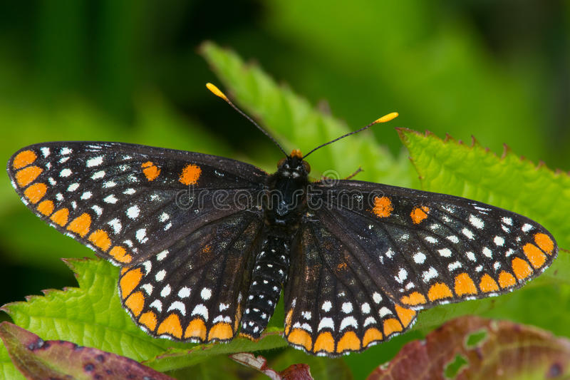 Download Baltimore Checkerspot image stock. Image du repos, nature - 45360101