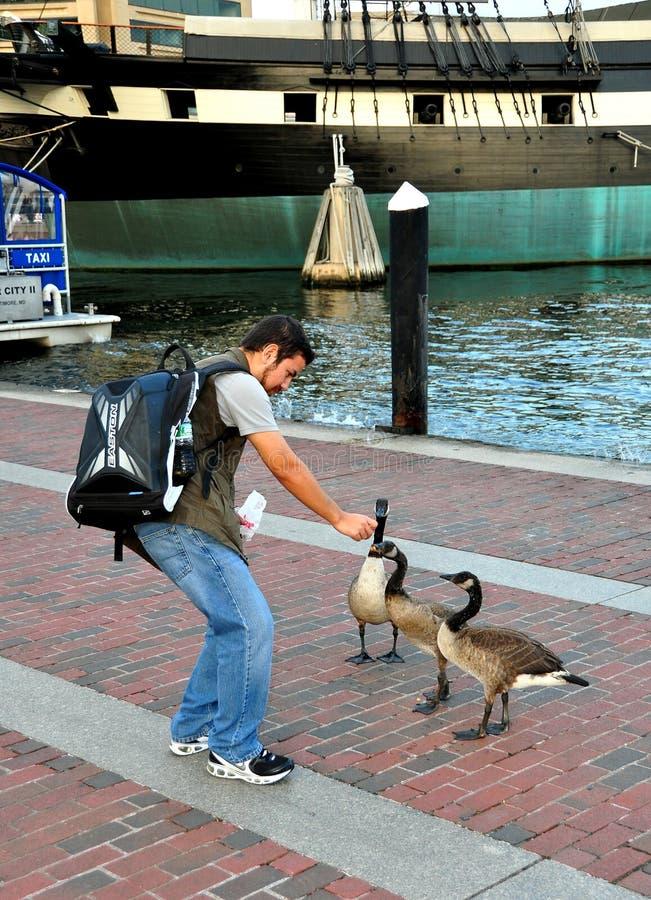 Baltimore, DM: Homem que alimenta gansos de Canadá fotografia de stock royalty free