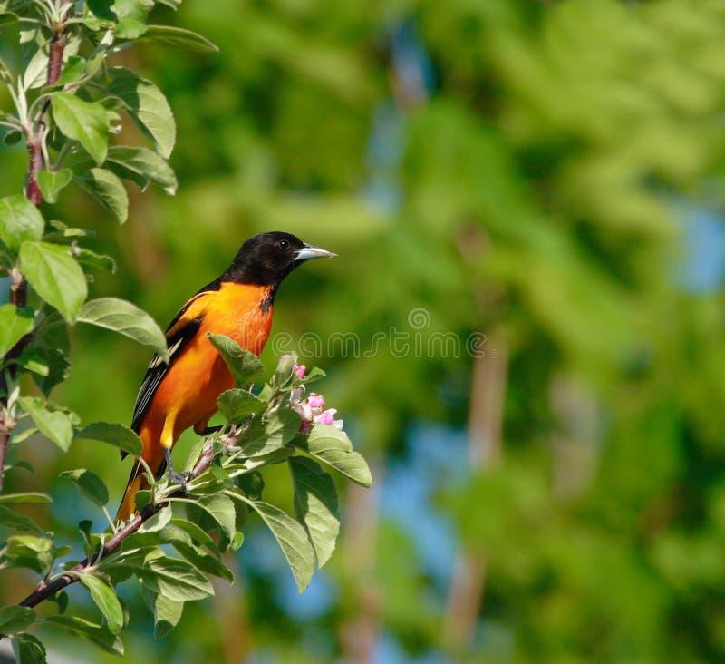 baltimore fågeloriole royaltyfria bilder