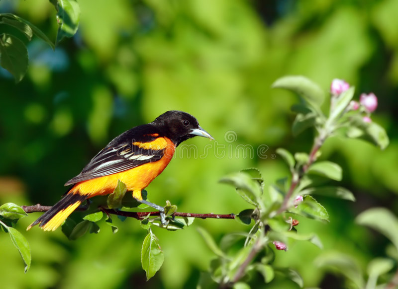 Baltimore Oriole bird royalty free stock photo