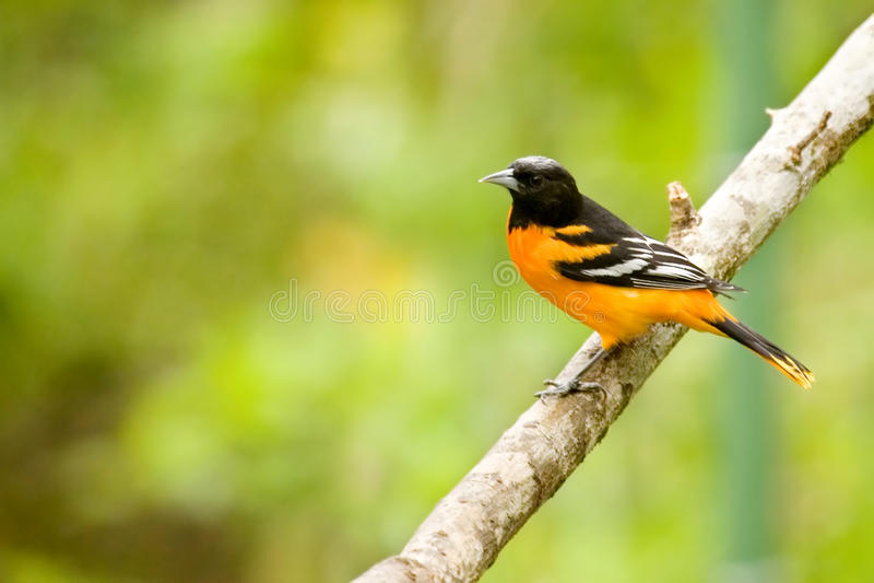 Baltimore Oriole bird royalty free stock photography