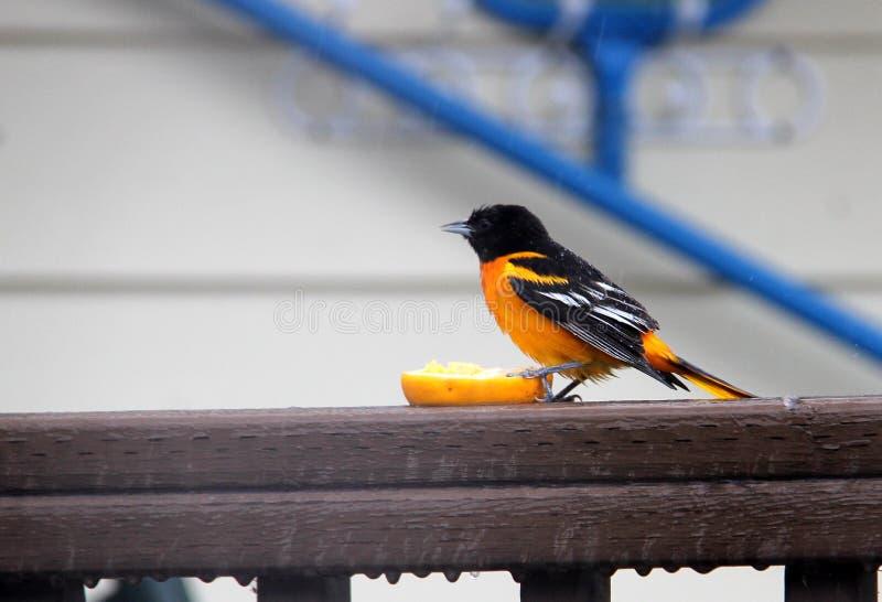 Baltimore Oriole dans Manitoba rural photographie stock