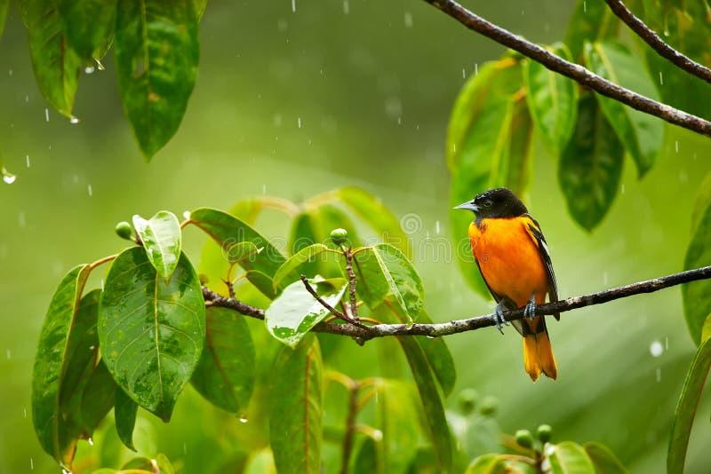 Baltimore Oriole, galbula dell'ittero sul ramo nella pioggia fotografia stock