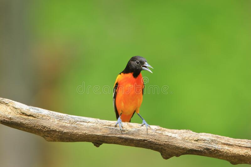 Baltimore Oriole - Green and Gold royalty free stock image