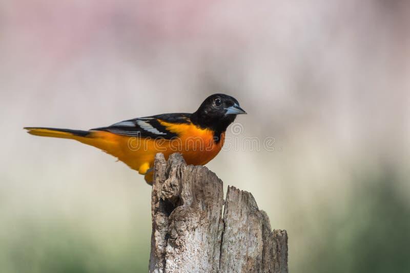 Baltimore Oriole Icterus galbula bird stock image