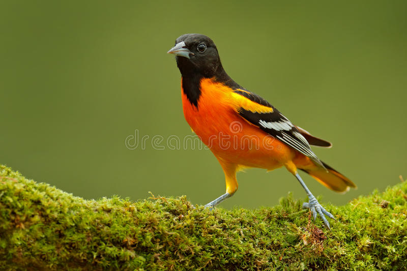 Baltimore Oriole, Icterus galbula, sitting on the green moss branch. Tropic bird in the nature habitat. Wildlife in Costa Rica. Or. Baltimore Oriole, Icterus stock images