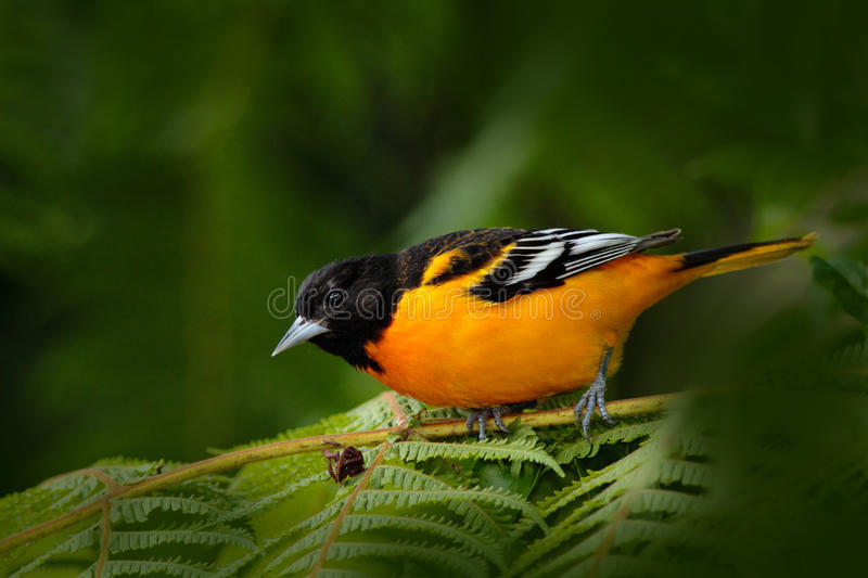 Baltimore Oriole, Icterus galbula, sitting on the green moss branch. Tropic bird in the nature habitat. Wildlife in Costa Rica. Or. Baltimore Oriole, Icterus royalty free stock photography