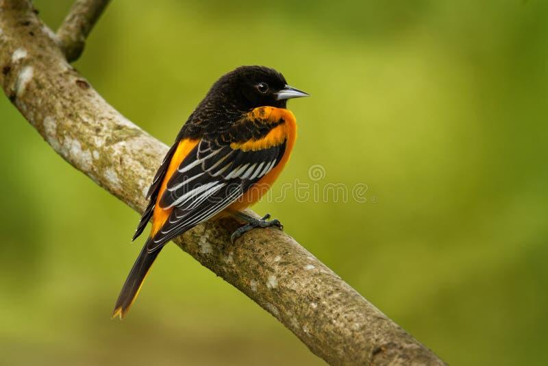 Baltimore Oriole - Icterus galbula small icterid blackbird common in eastern North America as a migratory breeding bird stock photo