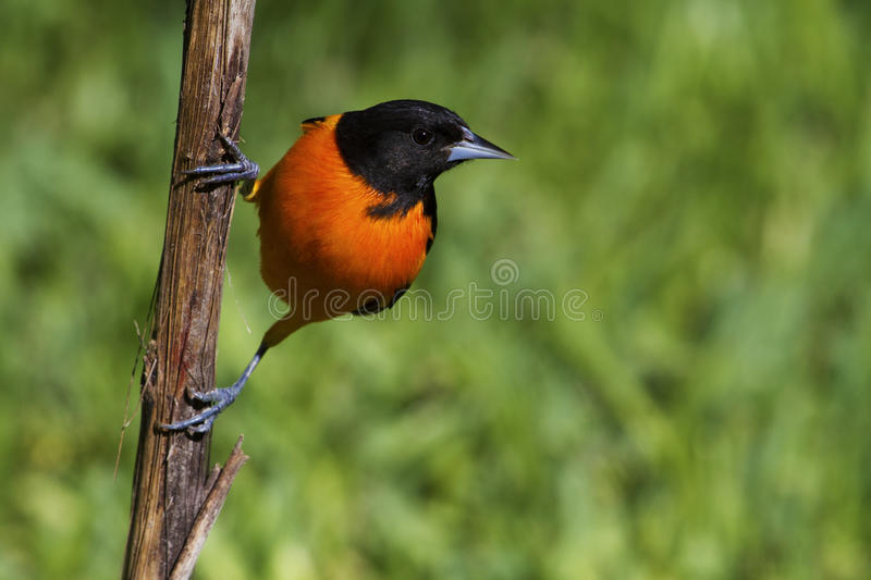 Download Baltimore oriole stock image. Image of birds, black, baltimore - 36895585