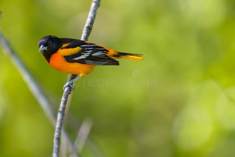 Baltimore Oriole maschio fotografia stock