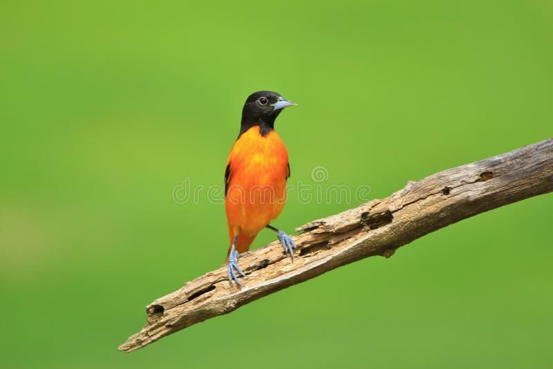 Baltimore Oriole - Nature`s Paintbrush royalty free stock photo