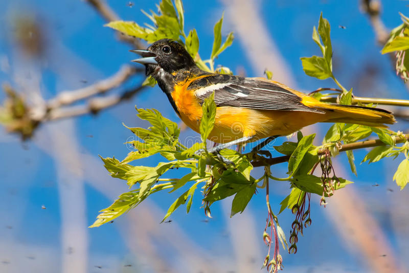 Baltimore Oriole. Perched on a branch looking at all of the bugs waiting to be eaten stock photography