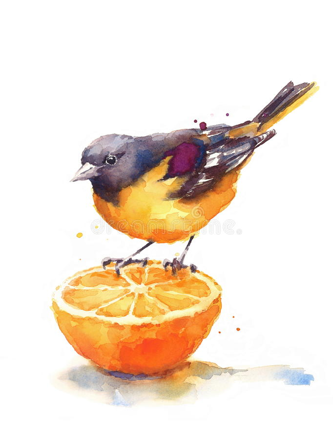 Baltimore Oriole Watercolor Bird Sitting auf der halben orange Illustrations-Hand gezeichnet auf weißen Hintergrund stock abbildung