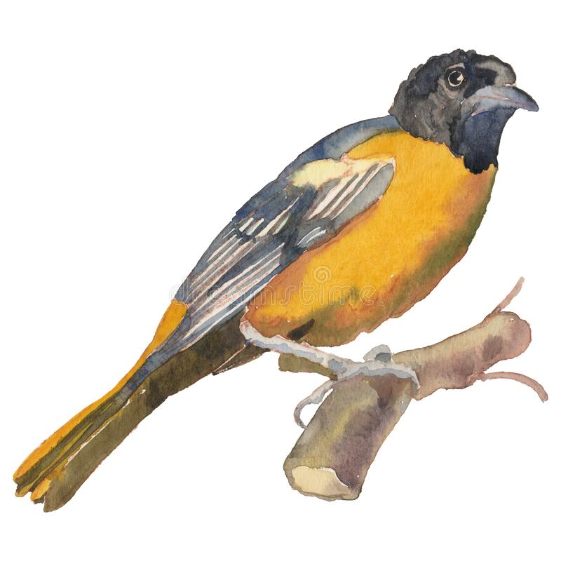 The Baltimore oriole. Watercolor hand painted drawing of bird royalty free illustration