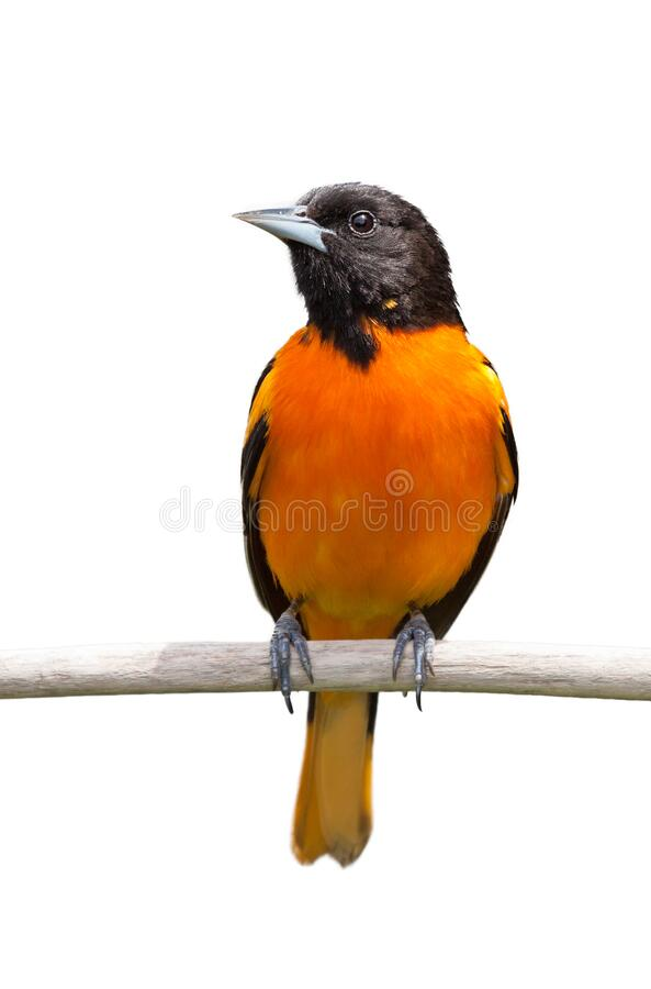 Baltimore Oriole on White Background. A baltimore oriole isolated on a white background royalty free stock photos