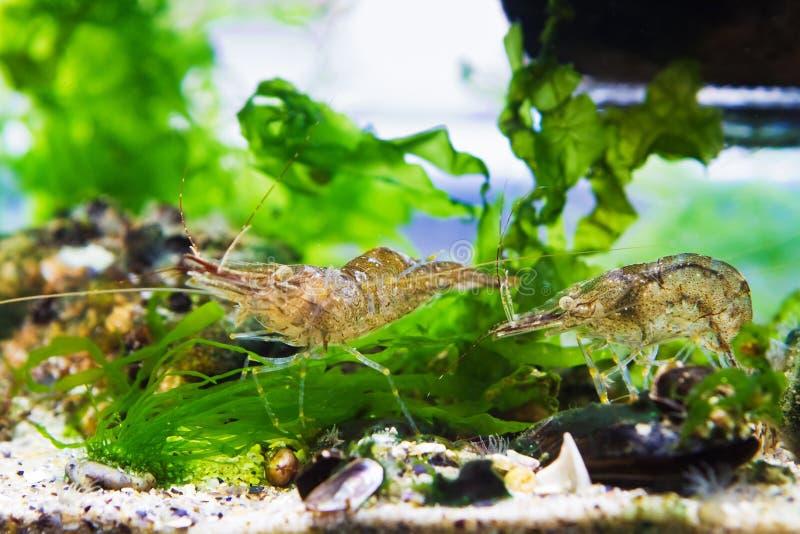 Baltische garnalen, Palaemon adspersus, saltwater decapod schaaldier in dense green Ulva algen zoeken naar voedsel royalty-vrije stock afbeeldingen