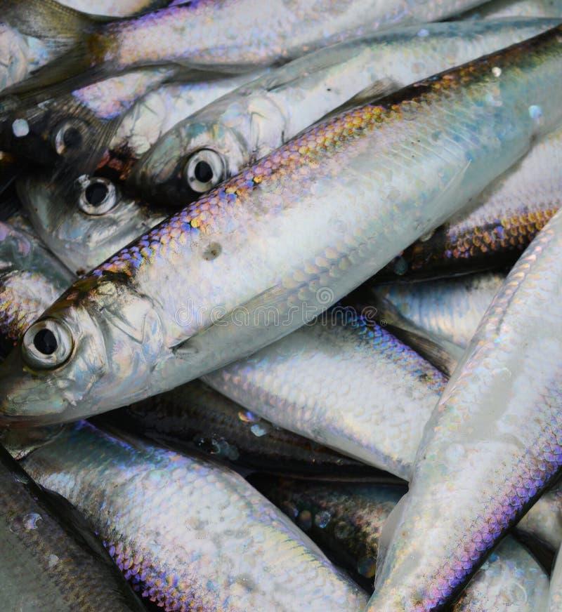 Baltische Seefischheringe lizenzfreies stockbild