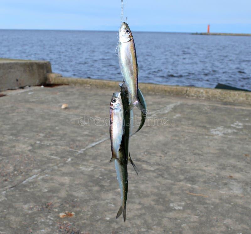 Baltische Seefischheringe lizenzfreie stockbilder