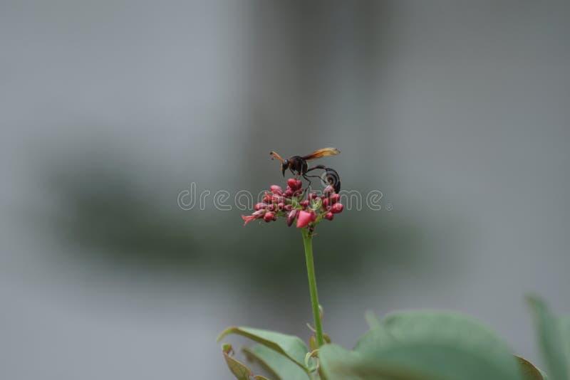 Balu bee stock images