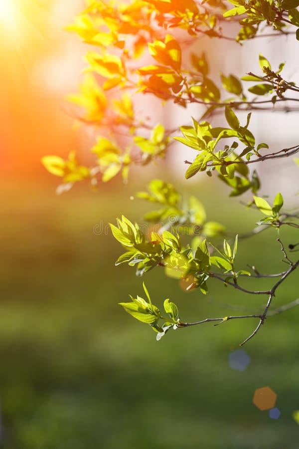 Balzano i primi fiori Paesaggio di fioritura, fondo in springti fotografia stock