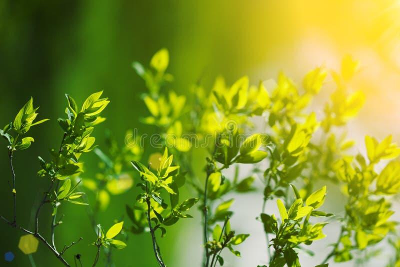 Balzano i primi fiori Paesaggio di fioritura, fondo in springti immagini stock