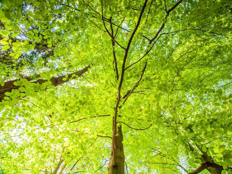 Balzi nell'albero di vista dal basso della foresta con le foglie verde intenso fertili illuminate dal sole Carta da parati dello  immagine stock
