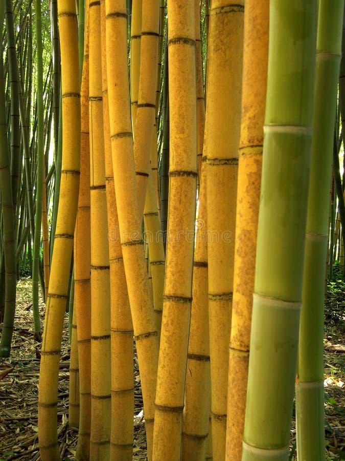 Bambù 05 immagine stock libera da diritti