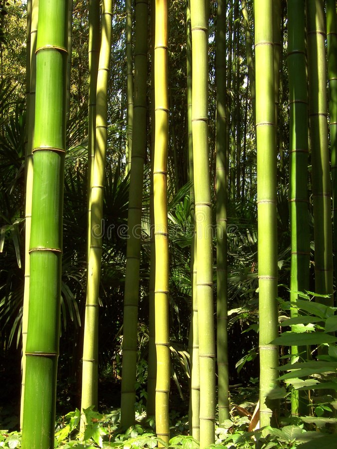 Bambù 09 fotografia stock