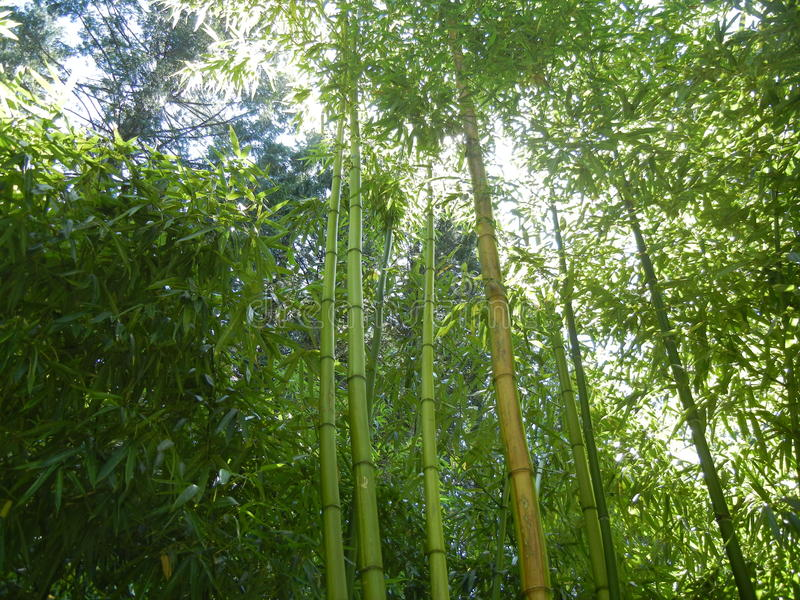 Download Bambù immagine stock. Immagine di verde, foresta, cinese - 55357847