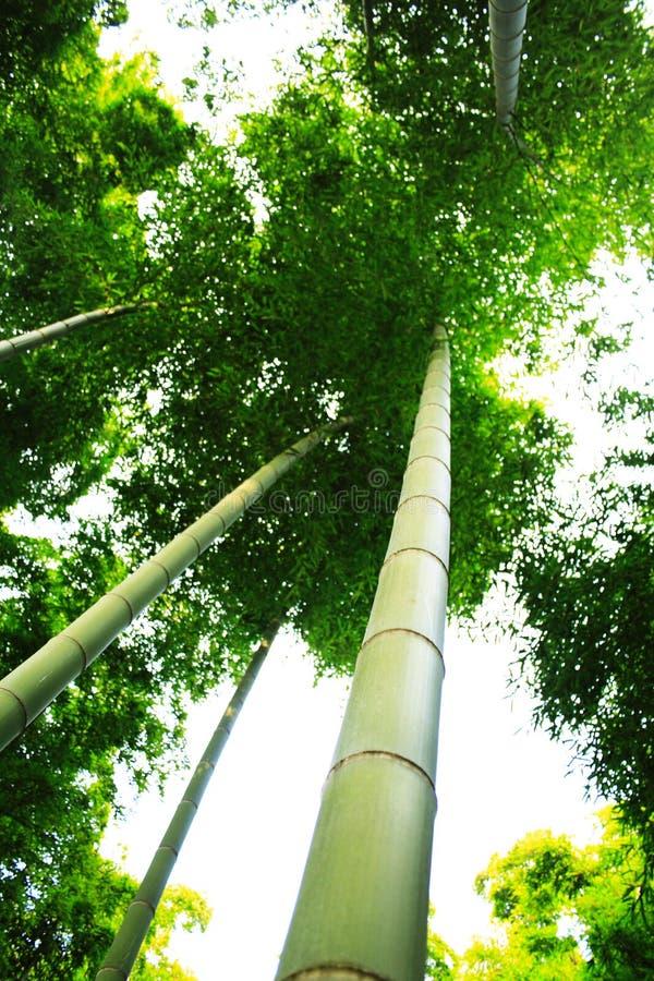 Bambù immagini stock libere da diritti