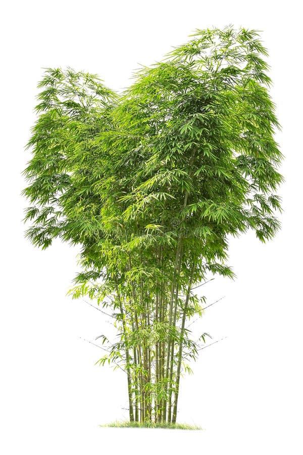 Bambù Albero isolato su fondo bianco fotografie stock