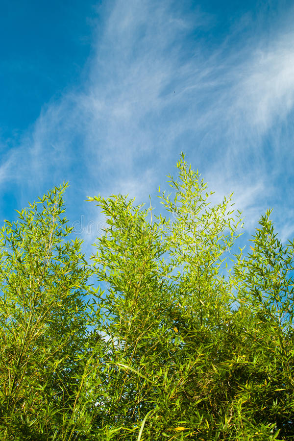 Bambù con cielo blu immagine stock libera da diritti