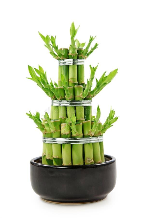Bambù di fortuna immagini stock