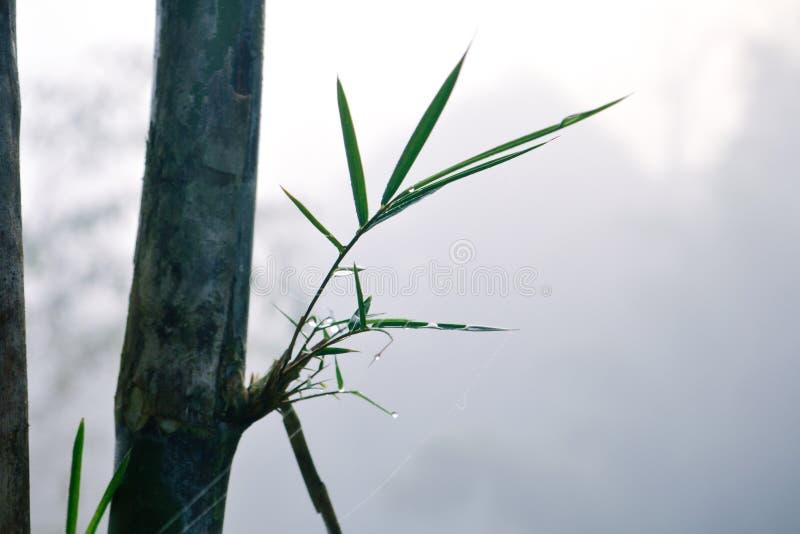 Bambù e gocce di acqua fra foschia immagini stock