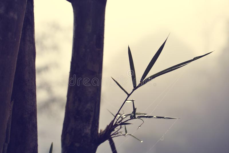 Bambù e gocce di acqua fra foschia fotografie stock libere da diritti