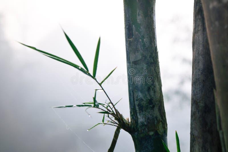 Bambù e gocce di acqua fra foschia immagine stock libera da diritti