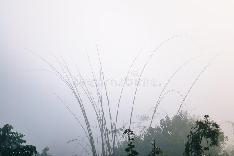 Bambù e gocce di acqua fra foschia fotografia stock