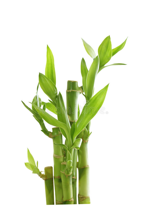 Bambù fortunato fotografie stock