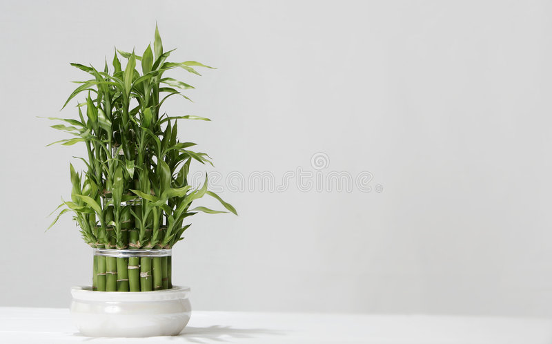Bambù fortunato giapponese immagini stock libere da diritti