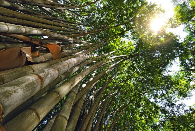 Bambù gigante Attraverso le cime di bambù del sun& x27; i raggi di s fanno il loro modo fotografia stock