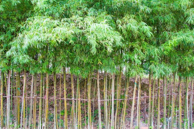 Bambù per recintare fotografia stock