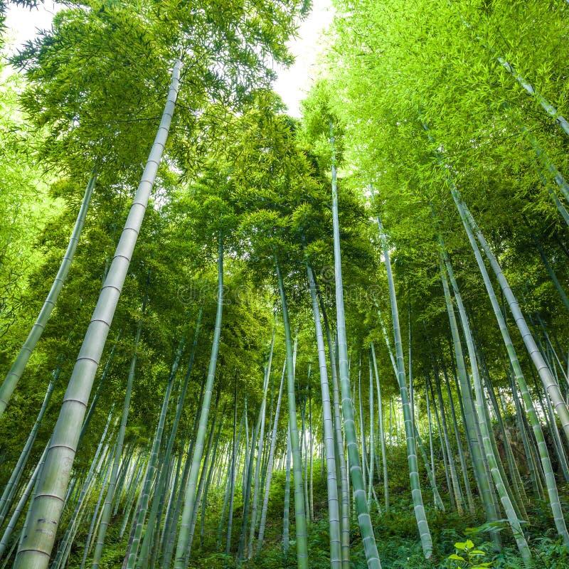 Bambù più forrest immagini stock libere da diritti