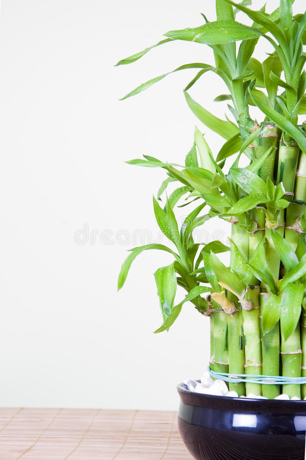 Bambú afortunado foto de archivo